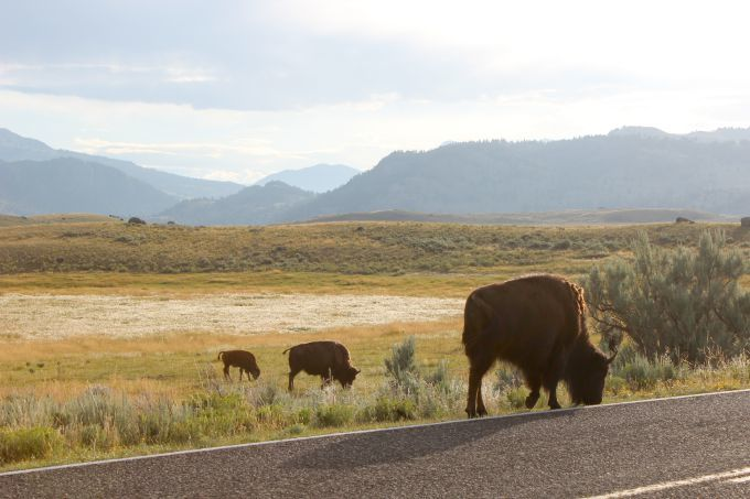 Things-to-do-in-Yellowstone-Take-an-early-morning-drive-through-Lamar-Valley-to-spot-wildlife-like-these-bison.-